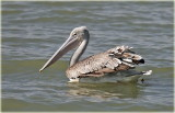 Pink-backed Pelican .