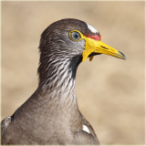 Plover African Wattled