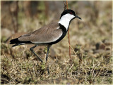 Plover Spur Winged