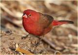 Red Billed Firefinch Male