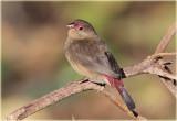 Red Billed Firefinch Female