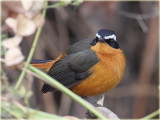 Robin Chat Ruppells
