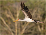 Stork Yellow Billed