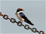 Swallow Wire-tailed