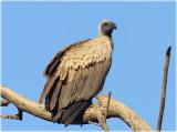 Vulture Ruppells Imm