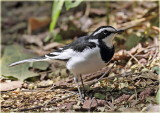 Wagtail African Pied