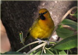 Weaver Spectacled