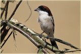 Shrike Woodchat
