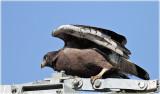 Branded Snake-eagle