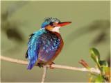 Kingfisher Malachite