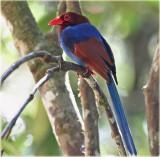 Ceylon Blue Magpie
