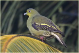Ceylon Green Pigeon Female