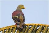 Ceylon Green Pigeon Male