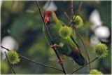 Ceylon Hanging Parrot