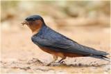 Ceylon Swallow