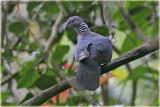 Ceylon Woodpigeon