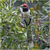 Red Faced Malkoha