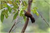 Ceylon Scimitar Babbler