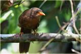 Ceylon Rufous Babbler