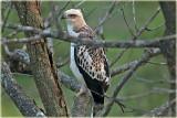 Crested Hawk Eagle Jv