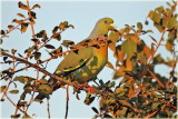 Orange Breasted Green Pigeon