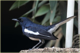 Oriental Magpie Robin Male