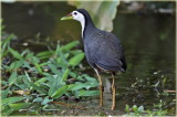 White Breasted Waterhen