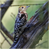 Yellow Fronted Pied Woodpecker