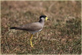Yellow Wattled Plover