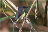 Legge's Flowerpecker