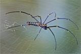 Giant Wood Spider Nephila Maculata