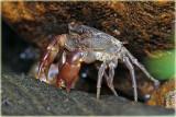 Rain Forest Crab