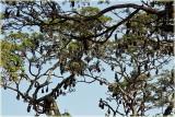 Flying Fox Bats in Tree