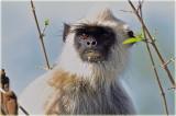 Monkey Grey Langur