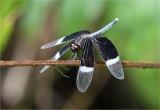 Pied Paddy Skimmer Dragonfly