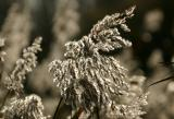 Backlit reed