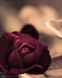 5/13/12 - Melancholy  Rose?ds20120512-0041w.jpg