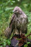 6-13-2012 Man, I hate rainstorms.ds20120612-0017 Hawk w.jpg