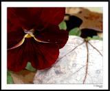ds20051109_0016a2wF Pansy-Leaf.jpg