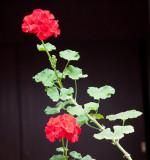 Flores de Pochina