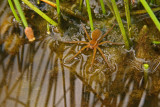 Dolomedes triton / Six-spotted Fishing Spider