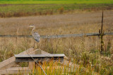 Great blue heron / Grand héron