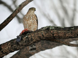 Sharp-shinned Hawk / Épervier brun