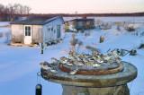 Plectrophane des neiges / Snow bunting