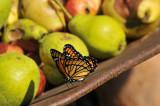 VICE-ROI dans un bain de pommes et de poires