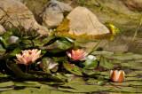 Nymphaea Colorado et Grenouille Verte