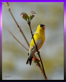 American Goldfinch Male on Dogwood