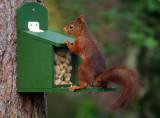 Eekhoorn / Squirrel
