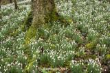 1702-Cherington snowdrops(2)
