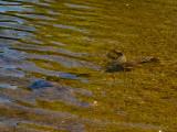 Carp spawning in Rice Lake